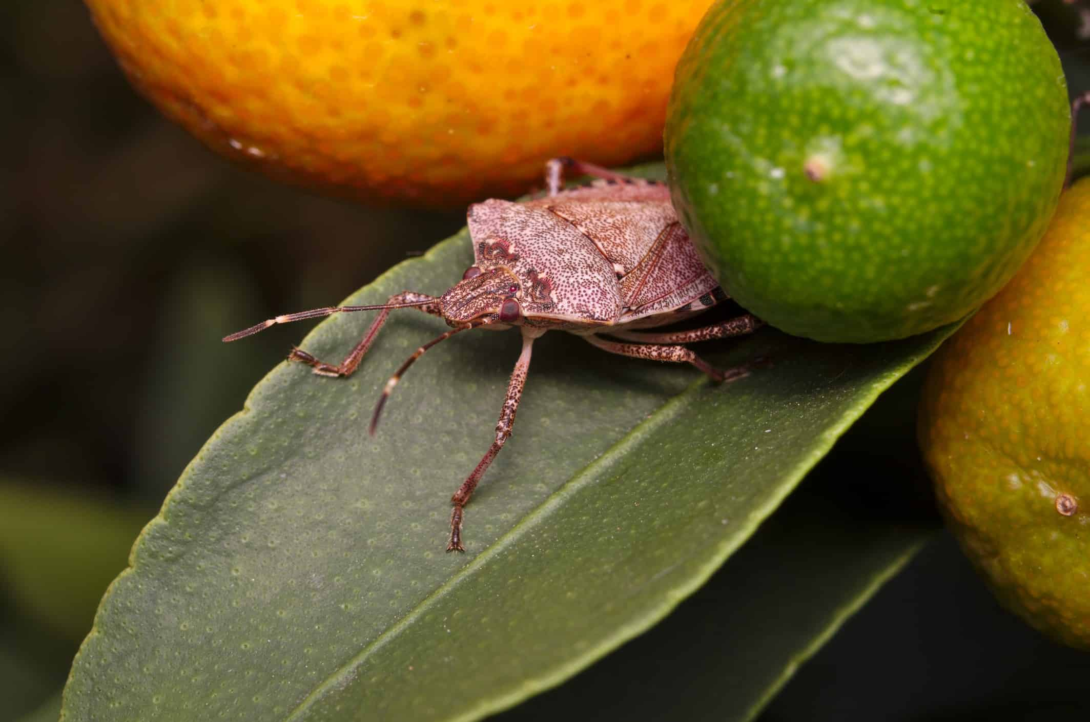 Australia puts its foot down on the brown marmorated stink bug